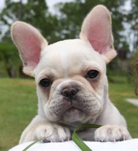 1a4c474b0f4f French Bulldog – Γαλλικό Μπουλντόγκ – Scooby Pet Shop
